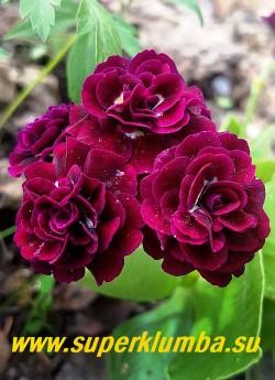 """Примула махровая ушковая """"ДИГБИ"""" (Primula аuricula """"Digby"""")  темно-вишневая густомахровая, с красивым разворотом.  высота до 15 см, цветет май-июнь.  НОВИНКА!  ЦЕНА 800 руб (штука)"""