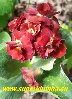 """Примула ушковая махровая """"ФОРЕСТ ГЛОУ"""" (Primula auricula Forest  Glow)  Кирпично -красная махровая примула, высота до 15 см, цветет май-июнь. НОВИНКА!  ЦЕНА 900 руб (штука)"""