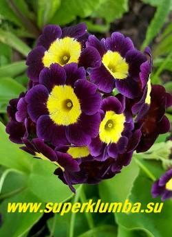 """Примула ушковая """"ФИОЛЕТОВАЯ №3"""" (Primula аuricula) фиолетово-синяя с  желтой серединкой, с ароматом, высота до 15 см, цветет май-июнь, НОВИНКА!    ЦЕНА 250 руб (штука)"""