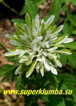 АНЕМОНА ДУБРАВНАЯ «Монстроза» (Anemone nemorosa «Monstrosa») очень необычная и редкая в садах форма с причудливо изрезанными лепестками околоцветника, похожими на зеленое с белым центром кружево. Высота 15 см, цветет с мая, ЦЕНА 500 руб (делёнка)