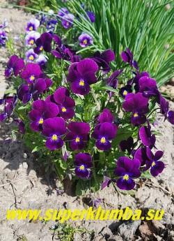 """ФИАЛКА ГИБРИДНАЯ №4 """"фиолетовая"""".  Бархатные цветы глубокого фиолетового цвета с контрастным желтым глазом . Куст высотой 20 см. малолетка (3-4 года) но легко возобновляется самосевом. ЦЕНА 150 руб (1 шт)"""
