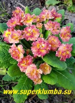 Примула бесстебельная  махровая  САНДЭ  (Primula vulgaris  Sundae) махровые крупные персиково-розовые  c  белой изморосью по краю лепестков  цветы. Цвет сложный- на персиковом фоне  очень мелкий розовый крап, усиливающий розовые тона в процессе цветения.  НОВИНКА!  ЦЕНА 500 руб (штука) НЕТ НА ВЕСНУ