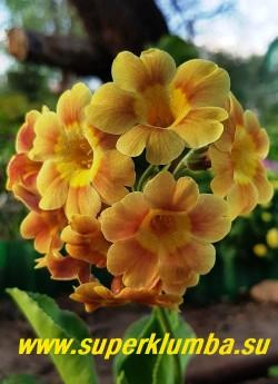 """Примула ушковая «ЗАГОРЯНКА» (Primula аuricula) желтая с рыжим """"загаром"""" ,  с ароматом, высота до 18 см, цветет май-июнь. НОВИНКА! ЦЕНА 300 руб (штука)"""