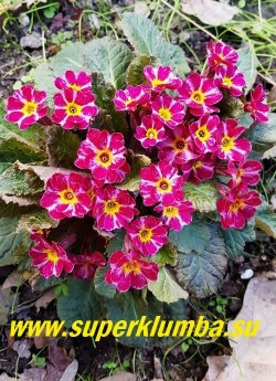 Примула гибридная ДАРК РОЗАЛИН (Primula Dark Rosaleen) Цветки тёмно-малиновые, с розово-белыми полосками по центру лепестков. Листья  пурпурно-бронзовые, на солнечном месте листья более тёмные и яркие. Молодые листья бронзово-красные. Высота 15 см. НОВИНКА!  ЦЕНА 450 руб