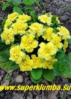"""Примула бесстебельная махровая   БАЛЕРИНА БАТТЕР ЕЛЛОУ (Primula acaulis Balerina Butter Yellow)   Форма цветка  """"jack-in-the-green"""".    Густо махровые желтые цветы в манжете из зеленых прицветников.  Высота 12 см, цветет в мае. ЦЕНА  500 руб  НЕТ НА ВЕСНУ"""