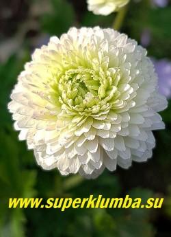 """АНЕМОНА ЛЕСНАЯ   """"Элис Фельдман"""" (Anemone sylvestris   """"Elise Feldman"""")  цветы крупным планом. В начале роспуска цветы зеленовато-белые, по мере роспуска они белеют. ЦЕНА   450 руб ( деленка)"""