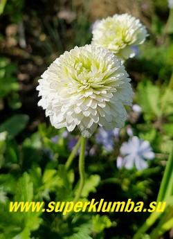 АНЕМОНА ЛЕСНАЯ «Элис Фельдман» (Anemone sylvestris «Elise Feldman») Цветы густомахровые крупные белые с зеленоватой серединой,  похожи на помпонные георгины,   диаметр цветка 6-8 см. Цветет май-июнь. Высота 20-30 см. Зимостойка. ЦЕНА 450 руб (деленка)