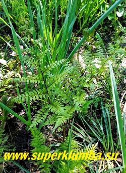 КОЧЕДЫЖНИК ВИДАЛЯ (Athyrium Vidalii)  Красивый крупный папоротник высотой до 1м,  с вертикальным ростом, один из самых рано отрастающих весной. Имеет треугольные, дваждыперистые вайи,  черешки длинные, окрашены в  тёмно-бордовый цвет. Листья мелкорассечённые, зелёные с лёгким лиловым оттенком.  Вполне зимостоек в средней полосе. НОВИНКА! НЕТ В ПРОДАЖЕ.