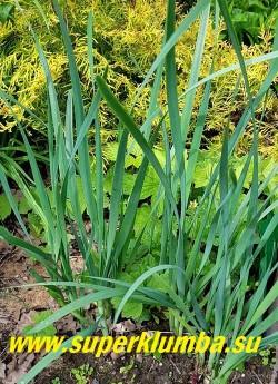 ЛУК ДУШИСТЫЙ (Allium odorum) съедобно-декоративный лук с плоскими  похожими на траву листьями, обладающими слабым чесночным привкусом,   с высокой пищевой ценностью , без которого не обходятся  в азиатской кухне.  Растет  куртинами подобно траве.    Соцветия очень декоративные, белые , душистые диаметром 5-6 см. Высота 30-70 см. НОВИНКА!  ЦЕНА 200 руб (делёнка 3-4 лук  )