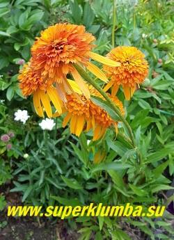 """Эхинацея """"МАРМЕЛАД"""" (Echinacea """"Marmalade"""") фото цветущего куста.  ЦЕНА 500 руб (делёнка) НЕТ НА ВЕСНУ"""