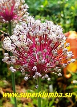 ЛУК ВИНОГРАДНЫЙ, САЛАТНЫЙ или КУРРАТ (Allium ampeloprasum) съедобно-декоративный, листья имеют трехгранную форму, нежнорозовые цветы на темно-вишневых цветоножках собраны в соцветия диаметром до 8 см, высота до 50 см, цветет август. ЦЕНА 200 руб (5 лук).