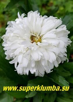 Нивяник МАКАРУН  (Leucanthemum Macaroon)  Новинка 2015 года. Новый изысканный сорт,  сильно разветвленный со множеством стеблей, он образует низкий, плотный куст, 25-30 см высотой,  Зацветает в июле, и продолжает цвести до августа красивыми белыми крупными, сильно махровыми соцветиями. НОВИНКА!  НЕТ В ПРОДАЖЕ