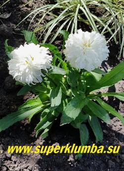 Нивяник МАКАРУН (Leucanthemum Macaroon) Сорт отлично подходит для массовой посадки и оформления края цветника. НОВИНКА! НЕТ В ПРОДАЖЕ