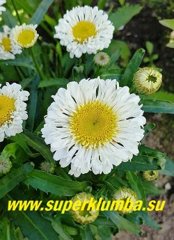 Нивяник РЕАЛ НИТ (Leucanthemum superbum Real Neat)  Стебли крепкие, многочисленные., листья темно-зеленые. Диаметр цветка 5-6 см. Высота 35-50 см.  НОВИНКА! НЕТ НА ВЕСНУ!