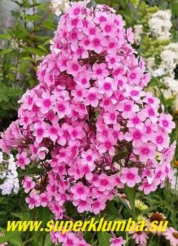 """Флокс Арендса БЭБИ ФЭЙС (Phlox x arendsii """"Baby Face"""") Jan Verschoor, РС, 50/2. Очаровательный мелкоцветковый флокс. Розовые с малиновым глазом цветы собраны в шаровидное, очень плотное соцветие. ЦЕНА 250 руб (1 шт) или  500 руб  (кустик 3-4шт ) НЕТ НА ВЕСНУ"""