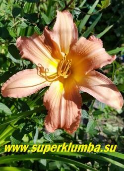 Лилейник КЭРАМБА (Hemerocallis Caramba) Спайдер.  Очень крупные ароматные цветы с удлиненными лепестками кораллово-абрикосового цвета с желтым горлом достигают в диаметре  20 см, обильное цветение.  Высота 60 см. НОВИНКА! ЦЕНА 500 руб (1 шт)