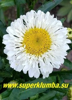 Нивяник РЕАЛ НИТ (Leucanthemum superbum Real Neat)новый оригинальный сорт с аккуратными изящными цветкам с белыми лепестками-ложками,  расположенными в два-три ряда вокруг жёлтого центра. Высота 35-45 см.  НОВИНКА! НЕТ НА ВЕСНУ!