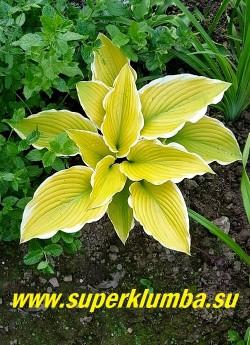 Хоста ЛЭЙКСАЙД ЧА ЧА (Hosta  Lakeside Cha Cha)  Размер М. Довольно крупная яркая хоста с удлиненными листьями с выраженным жилкованием.  В роспуске  листья  имеют светло-зелёный цвет с волнистыми кремовыми краями,  впоследствии центр становится ярко- золотистым, а края белыми. Цветы светло-лавандовые.  НОВИНКА! ЦЕНА 400 руб (1 шт)