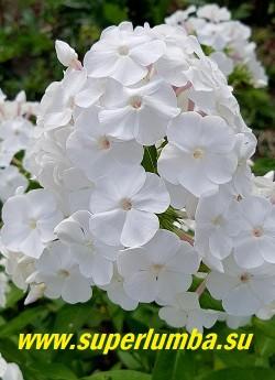Флокс метельчатый  МЕРЛИНКА ?(Phlox paniculata  Merlinka)  Шаронова М.Ф. Год: 1965 г.,  С, 70/3,5 Молочно белый с розовой трубкой,    соцветие округлое, плотное,  Куст мощный, прочный.  Соцветие округлое, среднего размера, плотное. Куст гармоничный, стебли крепкие. Добротный, стабильный сорт. Разрастается и размножается хорошо. Цветение июль-август, высота до 70 см,  НОВИНКА!  ЦЕНА 250 руб (1 шт)  или   500 руб (кустик: 3-4 шт)