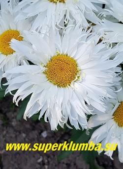 Нивяник  БЕЛЬГИАН ЛЕЙС (Leucanthemum Belgian Lace) Новинка 2015 года. Бельгийские кружева- потрясающе красивый, долгоцветущий  карликовый сорт ромашки,    образует невысокие плотные подушки, обильно украшенные крупными, диаметром 10 см, полумахровыми цветками с  ярко-желтой серединкой, окруженной снежно-белыми  сильно расщепленными на концах лепестками.     Высота  20-35 см. Время цветения июль-август. НОВИНКА! НЕТ НА ВЕСНУ.