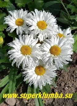 Нивяник  БЕЛЬГИАН ЛЕЙС (Leucanthemum Belgian Lace) Сорт отлично подходит для оформления края цветника или массовой посадки. Также может выращиваться в контейнерах и комнатной культуре.   НОВИНКА! НЕТ НА ВЕСНУ.