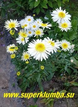 Нивяник РЕАЛ ГЛОРИ (Leucanthemum superbum Real Glory) Молодой куст в саду. НОВИНКА! ЦЕНА 450руб