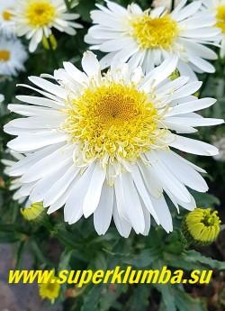 Нивяник РЕАЛ ГЛОРИ (Leucanthemum superbum Real Glory) Цветок крупным планом. НОВИНКА! ЦЕНА 450руб