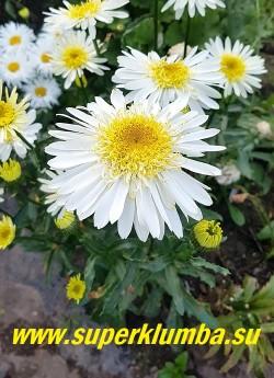 Нивяник РЕАЛ ГЛОРИ (Leucanthemum superbum Real Glory) с очень эффектными цветами необычной формы  Цветы до 10 см в диаметре, махровые,  с  набитой выпуклой желтоватой сердцевиной и белоснежными, длинными, крайними лепестками. Стебли высокие  до 75 см. НОВИНКА! ЦЕНА 450 руб