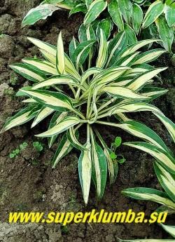 Хоста ЛИТЛ ДЖЕЙ (Hosta Little Jay) Размер D. Маленькая хоста. Листья вытянутые, волнистые, очень плотные кремово-белые с узким сине-зеленым краем. Цветы лавандовые. Тень. НОВИНКА! НЕТ В ПРОДАЖЕ.