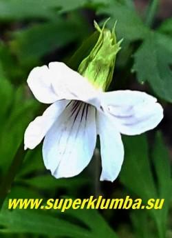 ФИАЛКА БУТЕНЕЛИСТНАЯ вар. Зибольда   Широбана (Viola chaerophylloides var. sieboldiana Shirobana)  цветок крупным планом. НОВИНКА!  ЦЕНА 450 руб (1 шт)