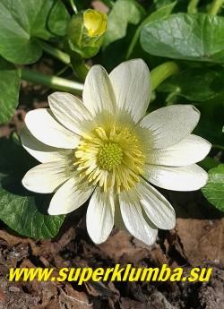 ЧИСТЯК ВЕСЕННИЙ «Салмонс Уайт» (Ficaria verna «Salmon's White») Цветок кремово-белый с бело-голубой  изнанкой,  диаметр цветов  2,5-3,5 см. ЦЕНА 400 руб (делёнка)