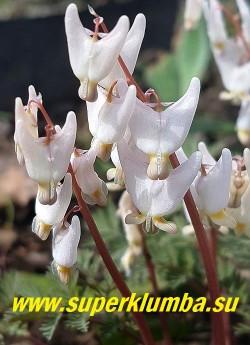 ДИЦЕНТРА КЛОБУЧКОВАЯ (Dicentra сuсcularia) цветы крупным планом. НОВИНКА! РЕДКОЕ! ЦЕНА 450 руб