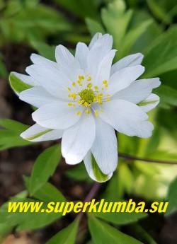 АНЕМОНА ДУБРАВНАЯ «Брактеата пленифлора» (Anemone nemorosa «Вracteata Pleniflora») Белые довольно крупные полумахровые цветки часто с синеющим в процессе цветения центром и основанием эффектной юбочки из  узких бело-зеленых лепестков. Высота 10-15см. Цветение в мае. НОВИНКА! ЦЕНА 300 руб (деленка)