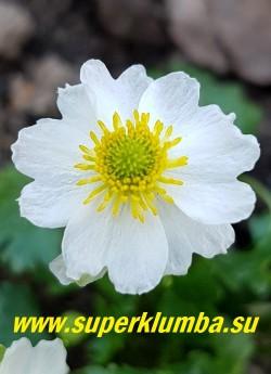 ЛЮТИК АЛЬПИЙСКИЙ(Ranunculus  alpestris) Цветок крупным планом.   НОВИНКА! РЕДКОЕ! ЦЕНА 450 руб(1 шт)