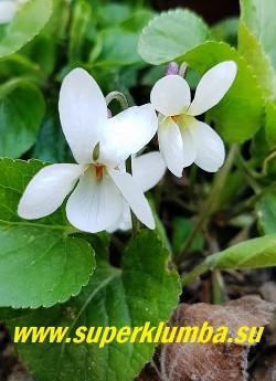 ФИАЛКА ДУШИСТАЯ   ФОРМА АЛЬБА  (Viola odorata f.  Alba) белоцветковая форма  с приятным ароматом, листья сердцевидные, мелкозубчатые, собраны в густые пучки, цветёт в мае и повторно в конце лета. НОВИНКА! ЦЕНА 300 руб (1 дел)