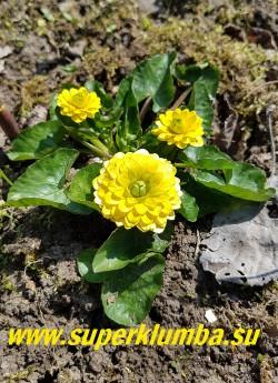 ЧИСТЯК ВЕСЕННИЙ «Флоре плена» (Ficaria verna «Flore Plena») красивый сорт с крупными густомахровыми лимонно-желтыми цветами , листва темно-зеленая с серебристыми пятнами. Эфемероид- летом листва исчезает, Высота 10-15см, цветение апрель-май. НОВИНКА! ЦЕНА 350 руб (делёнка)