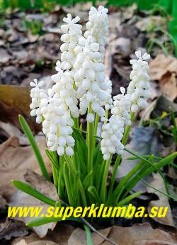 """МУСКАРИ ГРОЗДЬЕВИДНЫЙ """"Альбум"""" (Мuscari botryoides var. album)  чистобелые цветы собраны в соцветия кисти, высота 10-15см, цветет в мае 15-20 дней. ЦЕНА 150 руб (5 шт)"""