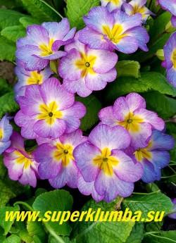 """Примула бесстебельная """"СИРЕНЕВЫЙ ЛЁД». Крупные цветы с удивительной игрой сиренево-голубых оттенков.  Высота 10-14 см, цветение апрель-май. НОВИНКА! ЦЕНА 450 руб (штука)"""