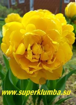 Тюльпан ГОЛДЕН НИЦЦА (Tulip Golden Nizza) Махровый поздний.(пионовидный)/  Сорт с золотисто-желтыми густомахровыми цветами,  напоминающими цветы пионов,  с нерегулярными красными язычками пламени на фоне, очень яркий. Высота  45-50 см, диаметр цветка 8-10 см. НОВИНКА! ЦЕНА 100 руб (1 лук)