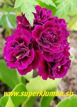 """Примула махровая ушковая """"ДИГБИ"""" (Primula аuricula """"Digby"""")НОВИНКА!  ЦЕНА 800 руб (штука)"""