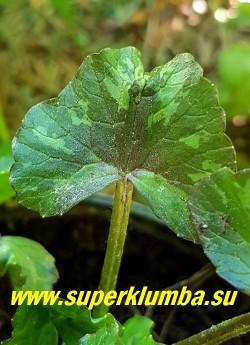 """ЧИСТЯК ВЕСЕННИЙ """"Грин петал"""" (Ranunculus ficaria """"Green Petal"""") Листва от бурой до темно-зеленой с серебристыми вкраплениями.  НОВИНКА!  НЕТ В ПРОДАЖЕ"""