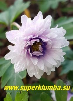 АНЕМОНА ДУБРАВНАЯ «Блю айз» (Anemone nemorosa «Blue Eyes») цветок в полном роспуске с фиолетовым глазом. НОВИНКА! ЦЕНА 500 руб (делёнка