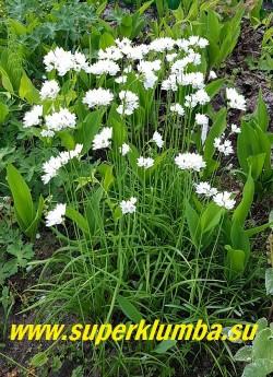 ЛУК ЗЕБДАНСКИЙ (Allium zebdanense) общий вид кустика  ЦЕНА 120 руб (3-4 лук)