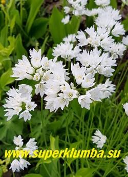 ЛУК ЗЕБДАНСКИЙ (Allium zebdanense) очень красивый некрупный декоративный лук с узкими плоскими изящно загнутыми вниз листьями и белоснежными крупными цветами собранными в зонтичные соцветия диаметром 5-6см на высоких 25-30 см цветоносах. Цветет в конце мая-июне. ЦЕНА 200 руб (5 лук)