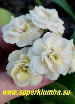 Примула махровая ушковая  МАЭ (Primula auricula Mare) Сливочно-розовые цветки. высота до 15 см, цветет май-июнь.  НОВИНКА!  ЦЕНА 700 руб (штука)
