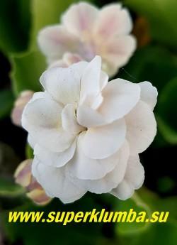 Примула махровая ушковая  МАЭ (Primula auricula Mare Цветок крупным планом. НОВИНКА!  ЦЕНА 700 руб (штука)