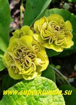 Примула ушковая махровая КАФЕ О ЛЕ (Primula auricula Cafe Au Lait) Горчично-зеленые, густо махровые цветки. высота до 15см, цветет май-июнь.  НОВИНКА! ЦЕНА 900 руб (штука) НЕТ НА ВЕСНУ.