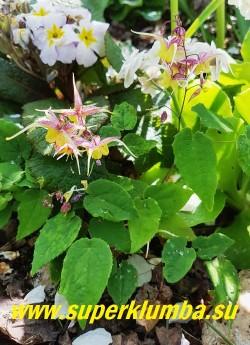"""ГОРЯНКА ГИБРИДНАЯ  """"ФАЙР ДРАГОН""""  (Epimedium """"Fire Dragon"""") Нарядная  уникальная желто-малиновая окраска цветка. Плотная вечнозеленая листва. Высота 25 см, цветение - май-июнь. НОВИНКА. НЕТ В ПРОДАЖЕ"""