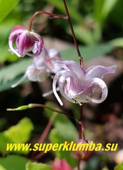 """ГОРЯНКА ГИБРИДНАЯ """"Сакура Мару"""" (Epimedium hybridum """"Sakura Maru"""")  Эффектная  горянка с  бледно  розовыми  цветами с закрученными  шпорами. Некрупная листва, высокие цветоносы,  Обильное цветение. Высота 35-40 см. НОВИНКА!  ЦЕНА  900 руб (1 делёнка)"""