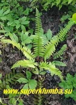 МНОГОРЯДНИК ВЕРХОПЛОДНЫЙ/РОЖДЕСТВЕНСКИЙ ПАПОРОТНИК (Рolystichum acrostichoides) Это вечнозеленый компактный папоротник  с   жесткими линейными  темно-зелеными листьями  и коротким корневищем. Листья длиной 30-70 см, однаждыперистые, красивые, глянцевые.  Листва остается привлекательной и зеленой даже в зимнее время, отсюда и  название - Рождественский папоротник. Зимостоек в Подмосковье.  Споры у данного вида расположены на лицевой стороне листа. НОВИНКА! ЦЕНА  600 руб